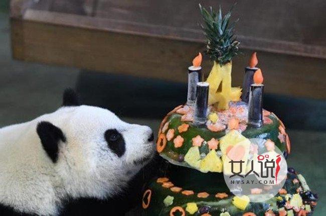 大熊猫圆仔迎生日 员工为国宝熊猫开生日会引来游客参观